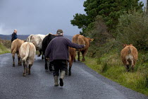 04-10-2012 - Farmer moving cattle on the road, Connemara, Ireland © David Mansell
