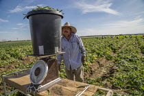 13-11-2019 - Coachella Valley, California, USA: Farmworkers picking green beans. Checker weighing picked beans © David Bacon