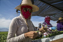 13-11-2019 - Coachella Valley, California, USA: Farmworkers picking green beans, sorting © David Bacon