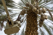 14-11-2019 - California, USA, Crew of farmworkers picking deglet dates, Coachella Valley. Two pickers work in bucket hoists © David Bacon