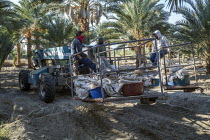 14-11-2019 - California, USA, Crew of farmworkers picking deglet dates, Coachella Valley © David Bacon
