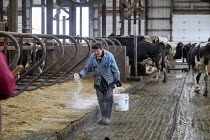 04-11-2019 - Omro, Wisconsin, USA, Theo Knigge spreading lime in the cattle barn, Knigge Farms, a dairy farm with automated milking machines. © Jim West