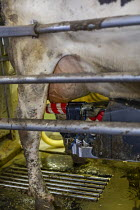 04-11-2019 - Omro, Wisconsin, USA, dairy farm with automated milking machines. Cow's teats are cleaned before being milked by the Lely Astronaut automatic milker, Knigge Farms © Jim West