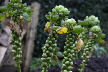 02-02-2020 - Brussels sprouts, Hill Close Gardens, Warwick - restored Victorian hedged gardens © John Harris