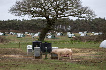 17-02-2020 - Pig farming, North Farm Livestock, Bayfield, Norfolk © John Harris