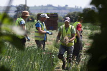 25-06-2020 - Migrant workers picking spring onions, Warwickshire © John Harris