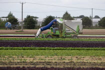 23-07-2020 - Driving a HOOVER XL leaf vacuum machine sucking up lettuce crop, Warwickshire © John Harris