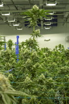 13-07-2020 - Detroit, USA. Cannabis growing, Viola Brands, a company founded by NBA veteran Al Harrington. Michigan residents voted to legalize medical marijuana in 2008 and recreational marijuana in 2018. © Jim West