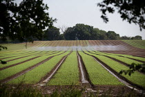 12-08-2020 - Irrigation of salad crops by traveling sprinkler, Warwickshire © John Harris