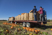 13-10-2020 - Michigan, USA. Migrant farmworkers harvesting pumpkins © Jim West