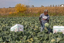 13-10-2020 - Michigan, USA. Migrant farmworkers harvesting cabbages © Jim West