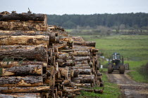 13-10-2020 - Forestry, tree trunks being stacked, Holkham National Nature Reserve, Norfolk. Forestry department silvicultural and Continuous Cover Forestry © John Harris