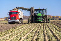 28-10-2020 - USA Michigan-Harvesting Sugar Beet. Michigan Sugar Company - a farmer owned cooperative- makes about 1.1 billion pounds of sugar each year. © Jim West