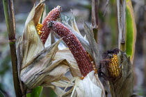 19-09-2020 - Prairieville, Michigan USA. Corn crop deer damage, where wild deer have partially eaten maize © Jim West