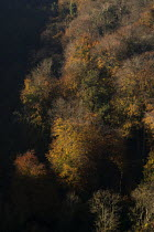05-11-2020 - Autumnal trees, Avon Gorge, Bristol. Leaves turning yellow and red © Paul Box