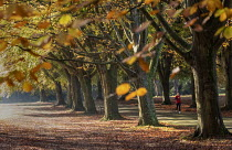05-11-2020 - Runner amongst autumnal beech trees, Clifton Downs, Bristol. Leaves turning yellow and red © Paul Box