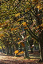 05-11-2020 - Autumnal beech trees, Clifton Downs, Bristol. Leaves turning yellow and red © Paul Box