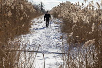 07-02-2021 - Algonac, Michigan, USA: Man hiking, St. John's Marsh, a wet prairie with hiking trails. Native cattails and other plants have been largely replaced by the invasive phragmites. © Jim West