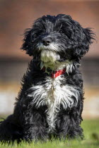 09-03-2021 - New puppy bought in lockdown, , Welford-on-Avon, Warwickshire © Paul Box